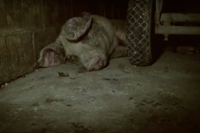 Un maiale agonizzante che aspetta solo di morire