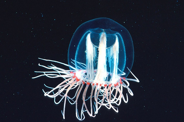 Foto di Shane Anderson https://commons.wikimedia.org/wiki/File:Zooplankton1_300.jpg