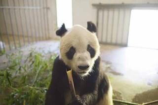 Pan Pan, il 'papà' dei panda è morto: era il più anziano del mondo e aveva 130 discendenti