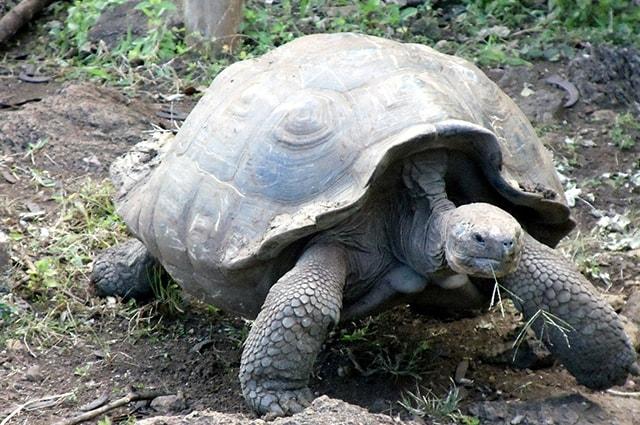 Tartaruga-galapagos
