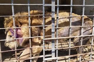 """""""Li stanno lasciando morire di fame"""": sono 265 gli animali torturati dallo zoo in Yemen"""