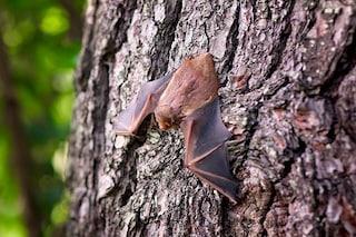 Svelato il segreto dei pipistrelli: ecco come riescono a non perdersi nella folla