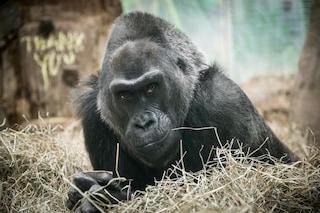 È morta Colo, aveva 60 anni ed è stata il primo gorilla in gabbia dalla nascita