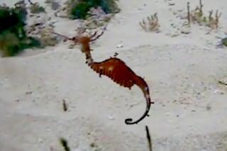 Svelati i segreti del Drago Rosso, il cavalluccio marino mai visto prima