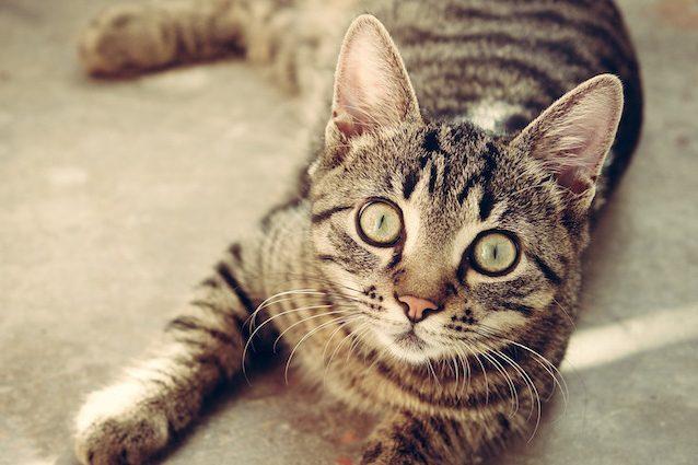 In Australia Stanno Per Uccidere Due Milioni Di Gatti Ecco Perché