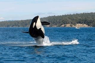 Granny, l'orca più vecchia del mondo, è morta libera: aveva 105 anni