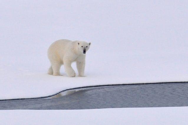 orso polare cover