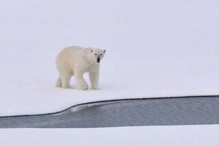 Gli USA non salveranno gli orsi polari: nessun intervento sul riscaldamento globale