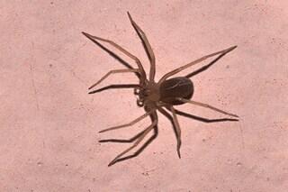 Attenzione al ragno violino in Italia: il veleno 'scioglie' i tessuti fino all'amputazione