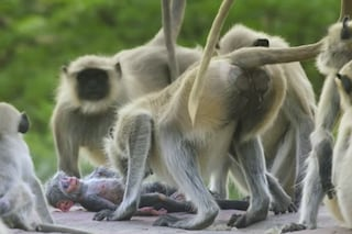 Scimmie in lutto, si confortano e abbracciano: la reazione alla morte di un cucciolo robot