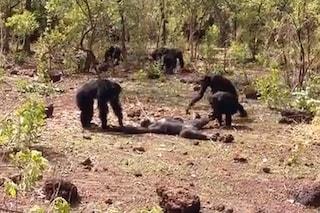 Foudouko, ex maschio alfa, torna nel branco: viene ucciso e cannibalizzato dagli scimpanzé