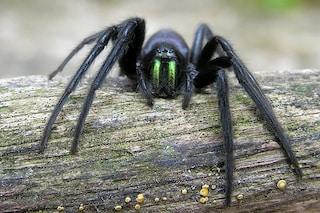 I 5 ragni più pericolosi in Italia: ecco quali sono e dove si trovano