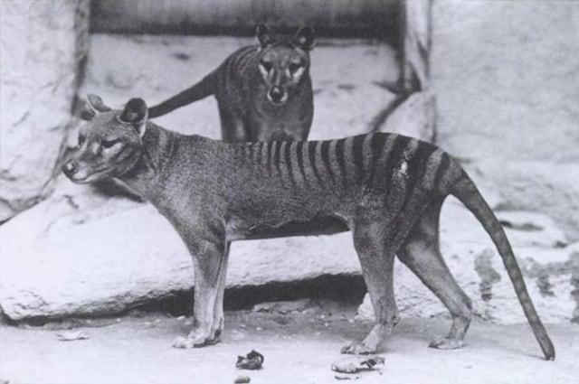 Thylacinus