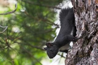 Lo scoiattolo meridionale appena scoperto vive solo in Basilicata e Calabria ed è a rischio