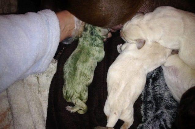 Il Cucciolo Di Labrador Appena Nato è Verde Tranquilli Non è Un