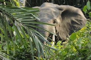 Gabon, sterminato l'80% degli elefanti di foresta: in 10 anni uccisi 25 mila esemplari
