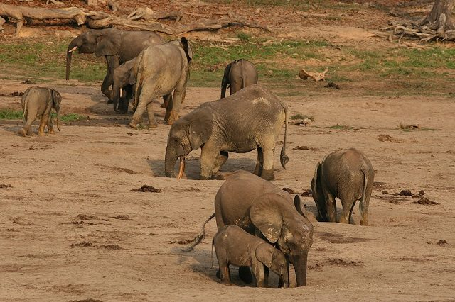Forest_elephant_group_2_(6987537761)