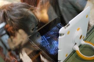 Tinder arriva negli Zoo: così l'orango Samboja cerca l'amore online