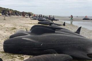 Cosa fare o non fare in caso di spiaggiamento: come i soccorritori salvano i cetacei