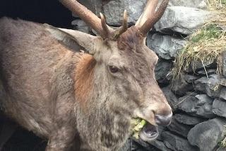 La fiaba di Gustavo, il cervo che per sopravvivere è diventato 'domestico'