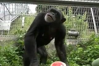 Kanako è cieca e vive sola: è il secondo scimpanzé al mondo con la Sindrome di Down