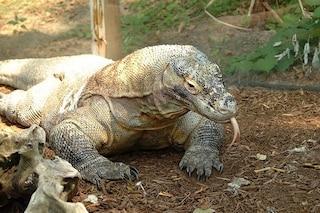 Il sangue dei draghi di Komodo può sconfiggere la resistenza ai farmaci: ecco perché