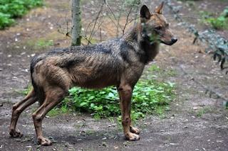 Piano abbattimento lupi, WWF spera: 'Si apre spiraglio, domani giornata decisiva'