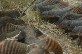Le manguste striate sono come noi: formano gang e fanno risse. I motivi? Sesso e territorio