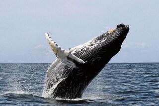 Le balene non si tuffano solo per divertimento, scoperto il vero motivo