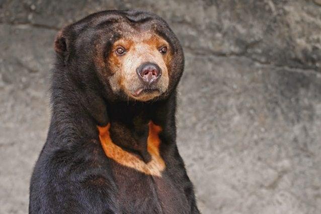 Un esemplare di orso malese, nel quale è ben evidente la macchia color arancio sul petto