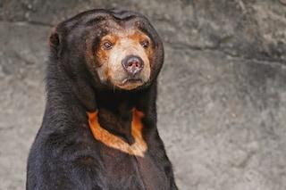 Baloo esiste davvero ed è gravemente minacciato di estinzione: chi è l'orso malese