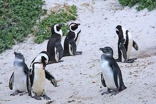 I pinguini africani sono in 'trappola', cercano cibo dove non c'è e rischiano di morire tutti