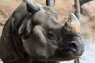 Per difendere i rinoceronti, le guardie forestali sparano ai bracconieri: già 50 morti
