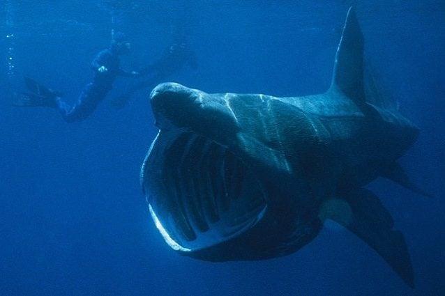 Uno squalo elefante si nutre di plancton - Foto di wikipedia https://it.wikipedia.org/wiki/Cetorhinus_maximus#/media/File:Basking_Shark.jpg