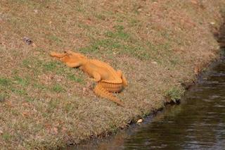 Avvistato il Trumpigator: l'alligatore che è diventato arancione e non per motivi politici