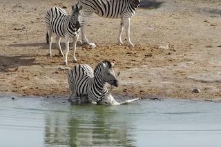 Zebra tenta di annegare e uccidere un cucciolo, video shock: perché vuole eliminarlo