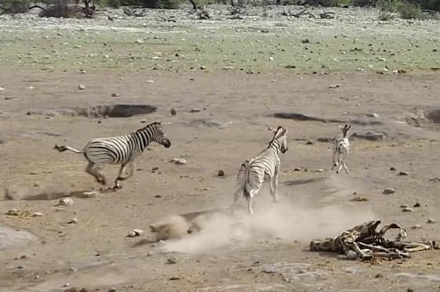 Il puledro riesce ad uscire dall'acqua mentre la femmina tenta di difenderlo