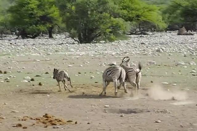 Il piccolo scappa mentre gli adulti si scontrano