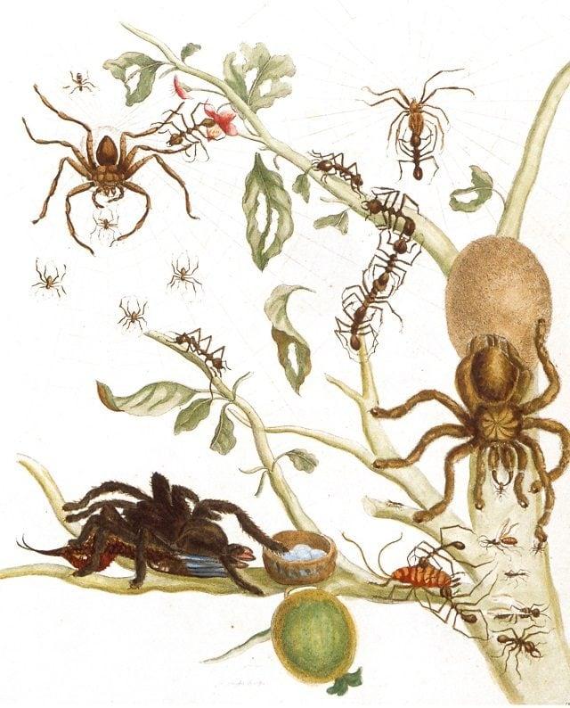 L'illustrazione di Maria Sibylla Merian