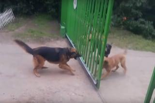 Perché questi cani si abbaiano attraverso il cancello, ma non si sbranano quando si apre