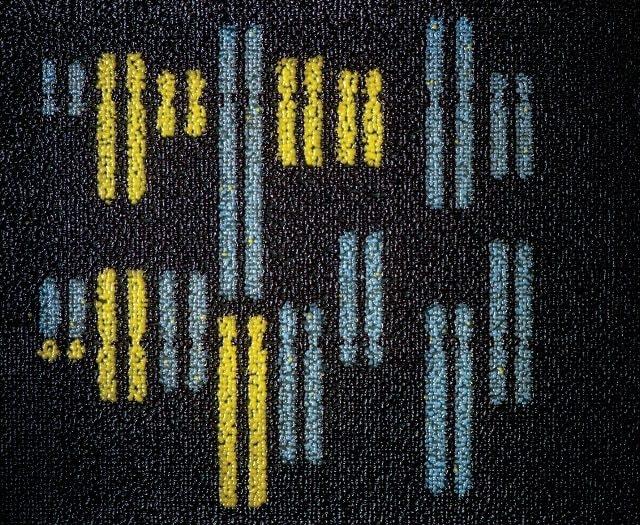 I cromosomi del lievito: in giallo quelli artificiali