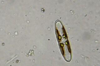 Tra il mondo animale e vegetale, chi è l'alga che ci fa bene alla salute e al portafoglio