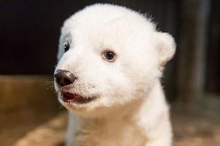 Fritz è morto, l'orso polare aveva solo 4 mesi: lo zoo di Berlino è in lutto