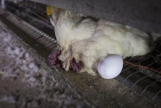 Uova: galline ferite, tra gli escrementi e morte in gabbia. Video shock degli allevamenti