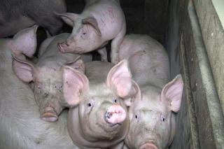 Trapianti di organi da maiali: l'editing genetico sconfigge il retrovirus PERVs