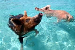 Come sono morti e chi ha ucciso i famosi maiali nuotatori delle Bahamas