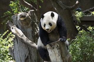 I panda sono bianchi e neri per questi due motivi