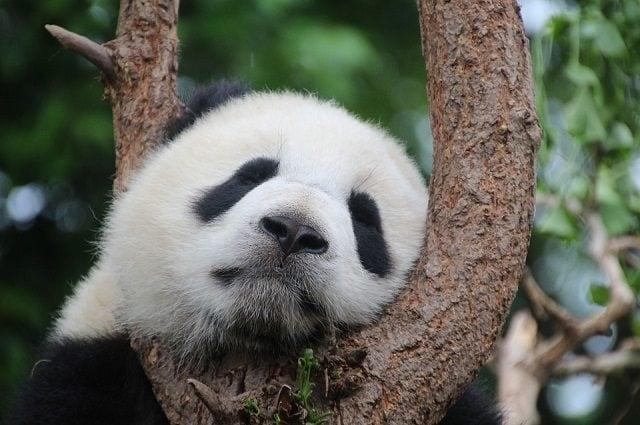 Un giovane panda si riposa - Foto di Cimberley https://pixabay.com/it/panda-orso-panda-sonno-riposo-1236875/