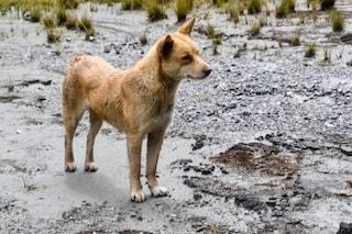 È il più raro e antico del mondo: ritrovato in natura il cane 'cantante' della Nuova Guinea