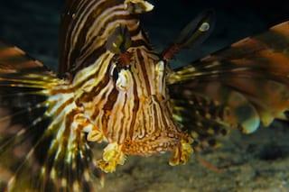 Allarme in Sicilia, prima apparizione del pesce scorpione: è pericoloso per l'uomo